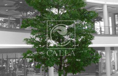 CALLA.pl oak